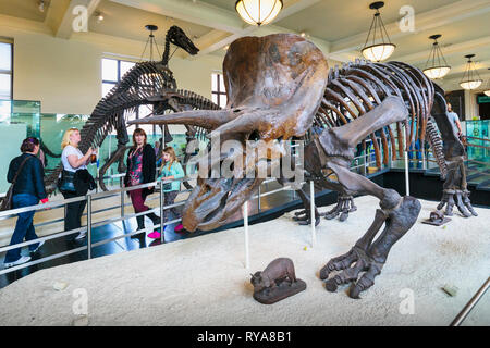 Fossil specimen of the plant-eating dinosaur Triceratops in the American Museum of Natural History.  New York City, New York State, United States of A - Stock Photo