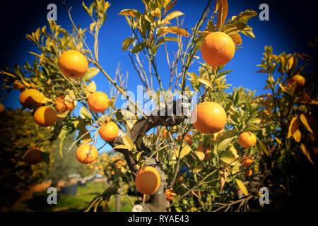 Orangen an einem Orangenbaum vor blauem Himmel bei Themenbild Sommer, Foto: Mario Hommes / HH-Photography-Pressefoto - Stock Photo