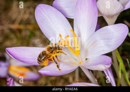 Krokusse auf einer Wiese, eine Biene sammelt Nektar beim THEMENBILD Fruehling, 15.02.2019  Bildnachweis: Mario Hommes / HH-Photography-Pressefoto - Stock Photo