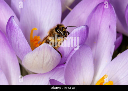 Krokusse auf einer Wiese, eine Biene sammelt Nektar beim THEMENBILD Fruehling, 16.02.2019  Bildnachweis: Mario Hommes / HH-Photography-Pressefoto - Stock Photo