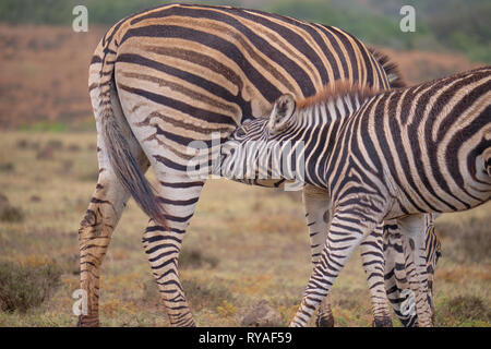 Mother and juvenile Burchell's zebra (Equus quagga burchellii) together.  Baby is feeding off mom. Close up of young reaching for mother's mammal - Stock Photo