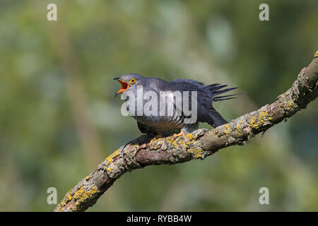 Common cuckoo (Cuculus canorus) male perched in tree and calling in spring - Stock Photo