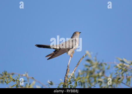 Common cuckoo (Cuculus canorus) male perched in tree in spring - Stock Photo