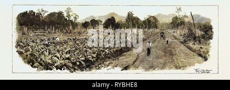 The Cultivation of Tobacco in Sumatra, Indonesia: The Growing Crop, 1890 Engraving - Stock Photo