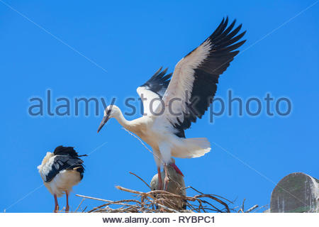 White storks (Ciconia ciconia), nesting on the top of Faro Cathedral, Faro, Algarve, Portugal, - Stock Photo
