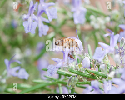 Close up view of a bee pollenating purple rosemary flowers in spring