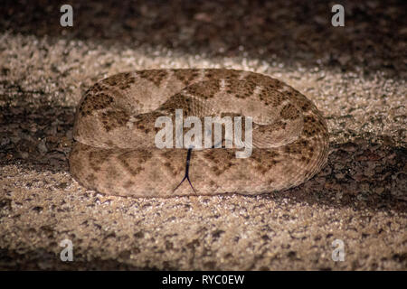 A deadly western diamondback rattlesnake is ready to strike while moving about the night. - Stock Photo