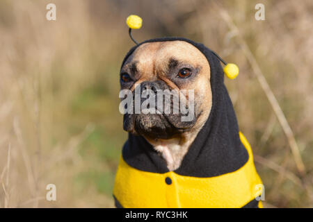 Cute fawn French Bulldog female dog dressed up in a funny black and yellow bee costume - Stock Photo