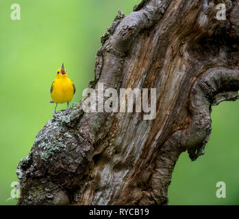 A Prothonotary Warbler perched and singing on a large gnarled and textured log in soft overcast light. - Stock Photo