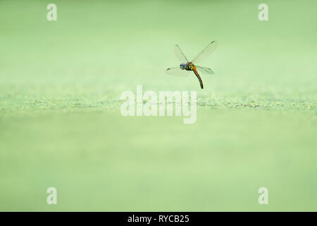 A dragonfly hovers in flight over a pond covered in green duckweed while dipping its tail in the water. - Stock Photo