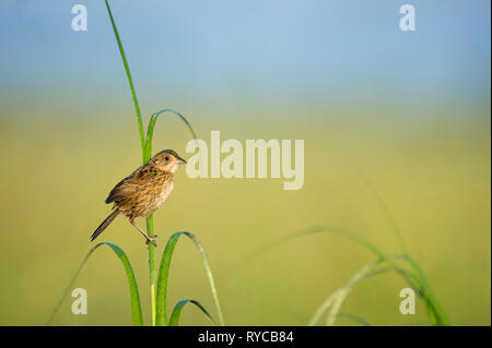 A Seaside Sparrow perches on the bright green marsh grasses in the morning sunlight with a smooth green and blue background. - Stock Photo