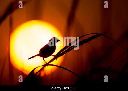 A Seaside Sparrow perches on marsh grass in front of the setting sun. - Stock Photo
