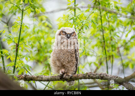 A young Great-horned Owlet sleeps on a small branch in the forest of fresh spring growth. - Stock Photo