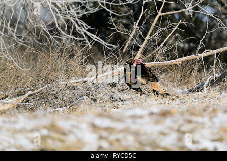 Wild Turkeys forage for food among the trees at Lake Scott State Park, in Western Kansas, February 2019 - Stock Photo