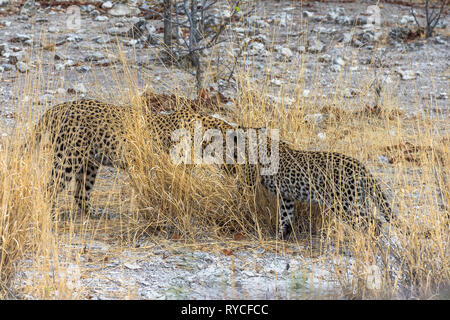 Leopards in the dry grass of Etosha Park - Stock Photo