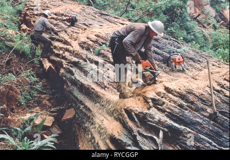 Fallers bucking Redwood log, using chainsaw, Redwood logging operation, 'Sequoia simpervirens'. - Stock Photo