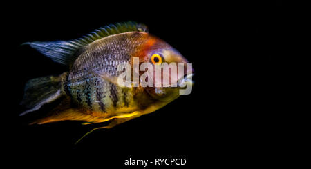 banded cichlid isolated on a black background, popular tropical aquarium pet from the orinoco river of south America - Stock Photo