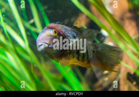 closeup of a banded cichlid, tropical fish from the orinoco river of south America, popular aquarium pet - Stock Photo