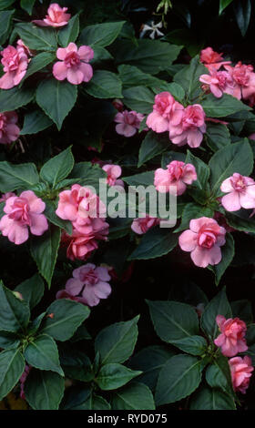 FLOWERING PINK BUSY LIZZIE FLOWERS (IMPATIENS) 'CONFECTION SERIES' - Stock Photo