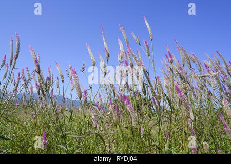 Celosia caracas – the cockscomb flower in nature against blue sky background - Stock Photo