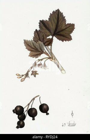 Ribes Nigrum Black Currant - Stock Photo