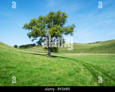 Lone ash tree Fraxinus exelsior in a dry chalk valley on the Dorset Downs UK - Stock Photo