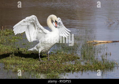 Swan mute (Cygnus olor) stretching its wings at waters edge. Chest out neck back and head down posture. Large white wings and body and an orange bill - Stock Photo
