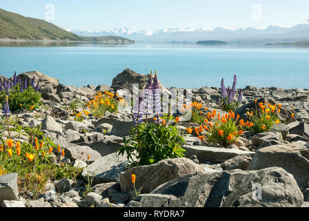 The stunning pale blue Lake Tekapo, New Zealand, with snow capped mountains in the background; colourful lupins and Californian poppies in foreground. - Stock Photo