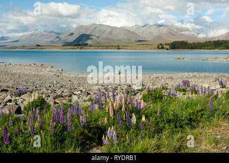 The stunning pale blue Lake Tekapo, New Zealand, with mountains in the background and colourful lupins in the foreground. Sunny day, fluffy clouds. - Stock Photo