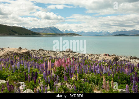 The stunning pale blue Lake Tekapo, New Zealand, with snow capped mountains in the background and colourful lupins in the foreground. Sunny day. - Stock Photo