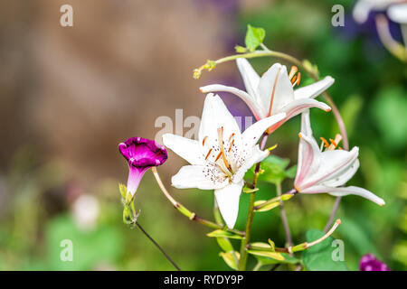 Macro closeup of group of white and pink lily flowers growing in garden during summer season with leaves - Stock Photo