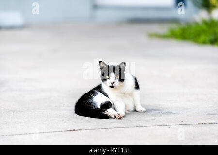 Stray black and white cat with yellow eyes lying sitting on on sidewalk street in Sarasota, Florida looking straight at camera - Stock Photo