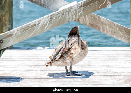 One young Juvenile Eastern Brown Pelican bird closeup in Florida bay near Sanibel island preening feathers with oil standing on wooden pier boardwalk - Stock Photo