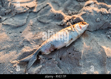 Closeup of one dead fish washed ashore during sunset on sand red tide algae bloom toxic in Naples beach in Florida Gulf of Mexico - Stock Photo
