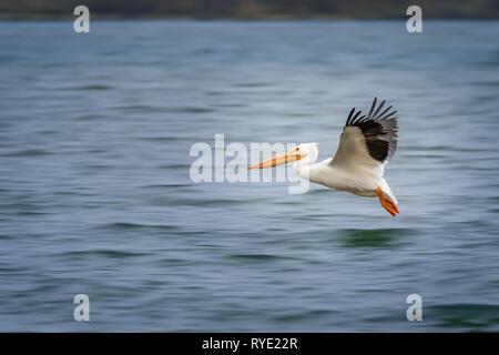 American White Pelicans (Pelecanus erythrorhynchos) in flight