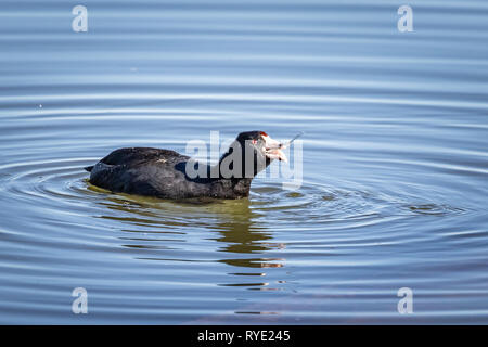 American Coot (Fulica americana) fishing on a lake - Stock Photo