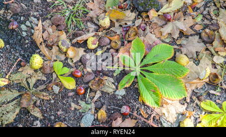 A green leaf of the horsechestnut tree on the ground along with the seeds and skin on the ground - Stock Photo