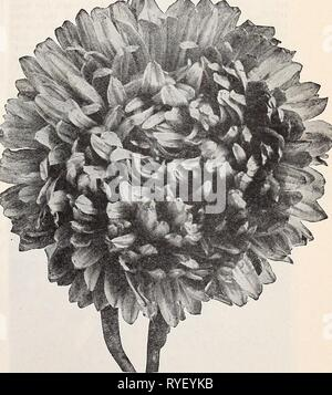Dreer's wholesale price list for florists : special spring edition  dreerswholesalep1932henr 2 Year: 1932  California Giant Aster Beauty Asters This type is most valuable on account of Its late flowering, coming' into bloom fully two weeks later than our Superb Late Branching, and furnishing high- grade cut flowers from early October until killing frost in November. The plants are unusually vigor- ous, from 2V2 to 3 feet high. Tr. pkt. Ob. American Beauty. Rich cherry-rose, sim- Laveader Beauty. Exquisite soft lavender Purple Beauty. Rich, lustrous deep purple September Beauty. Delicate shell- - Stock Photo
