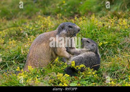 Alpine marmot (Marmota marmota) adult playing with young, Hohe Tauern National Park, Carinthia, Austria - Stock Photo