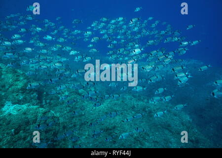 School of fish two banded seabream Diplodus vulgaris underwater in the Mediterranean sea, Medes Islands, Costa Brava, Spain - Stock Photo