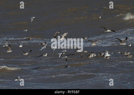 Iceland Gull (Larus glaucoides) among other Gulls - Stock Photo