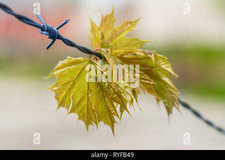 Spring maple leaves hanging on barbed wire. Acer. Detail of lush young green twig caught on steel fence with sharp spikes. Blurry background. Freedom. - Stock Photo