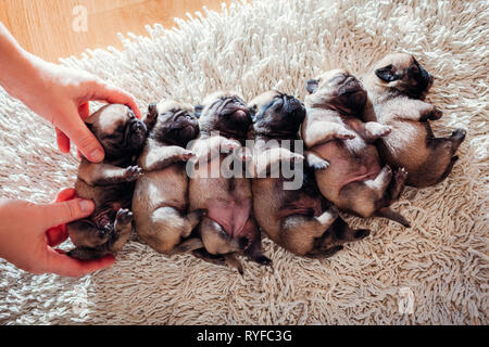 Woman puts six pug dog puppies together on rug. Little puppies sleeping at home - Stock Photo