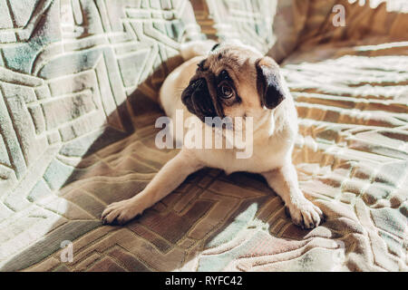 Pug dog lying on couch at home. Happy pet listening to orders and looking at master - Stock Photo