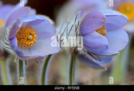 A rare and protected pulsatilla patens blooming  in forest in southern Finland - Stock Photo