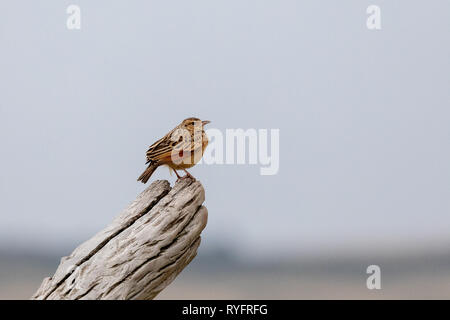 Rufous-naped Lark, Kenya, Africa - Stock Photo
