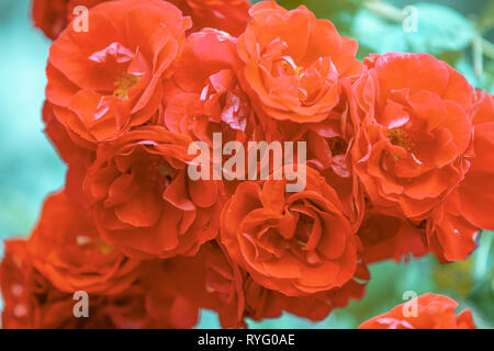 Red rosebush in the garden. Natural flower background - Stock Photo