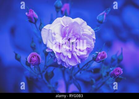Rosebush in the garden. Blue vintage flower nature background - Stock Photo