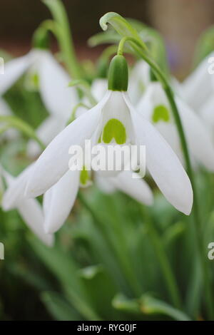 Galanthus 'Bill Bishop'. Mighty Atom group snowdrop with bold green marking and long outer petals (segments) - February, UK garden - Stock Photo