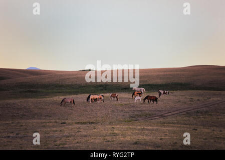 A beautiful herd of horses grazes freely on the majestic fields on the Blackfeet Reservation of the Blackfeet Nation near Browning, Montana. - Stock Photo